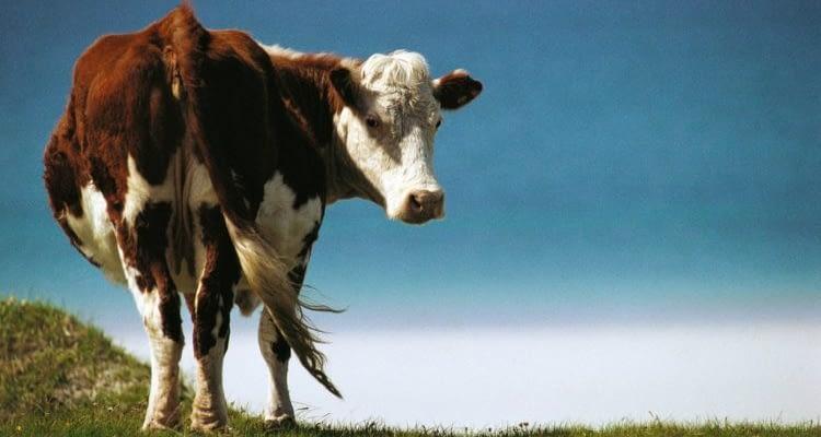 cow1 750x450 1